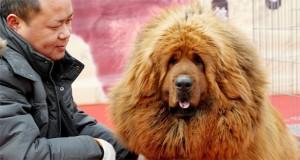 chinese zoo dog